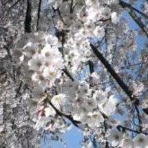 桜にちなんだ曲・場所…