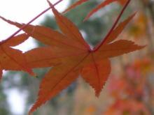がくちょうのたわごと ~熊野吹奏楽団~-紅葉