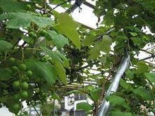 Grape & Muscat