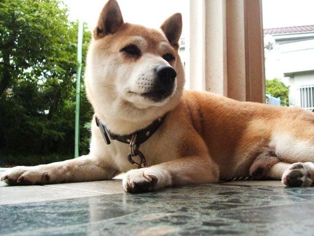 柴犬イチロー