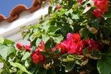 アリビラ花