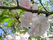 地域を応援する人たちの笑顔-鎌足桜