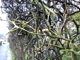 トゲのあるみかんの木の品種を教えてください。 - 最近の品種では、... - Yahoo!知恵袋