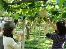 梨狩りしてます。