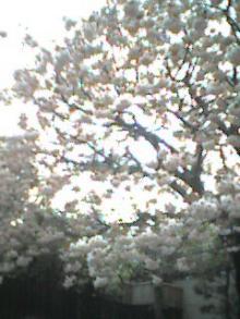 おねぼうさんの桜★