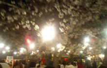 円山公園の桜①