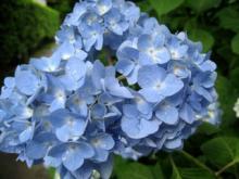 2007 紫陽花