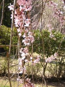 """桜06""""5"""
