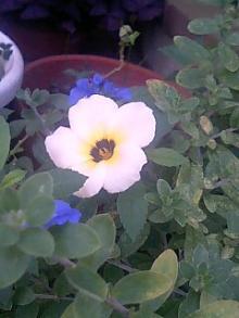 レモン色の花