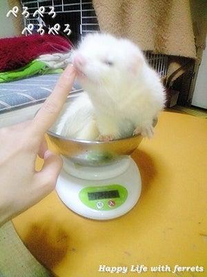 はっぴーらいふ with ferrets-体重チェック⑪