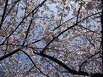 千鳥が渕の桜4