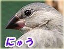 桜文鳥ーにゅう