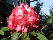 06石楠花-1