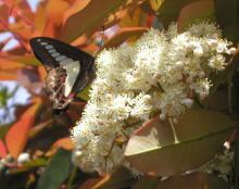 アゲハ蝶とアカメの花