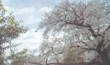 桜風景(空シアン)補正済