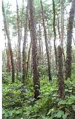 「栄作」裏庭の松林2007.8.19