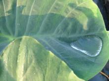 サトイモの葉2