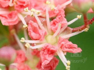 ヘナの花・ピンク