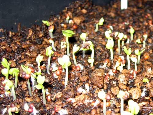 水菜 播種から5日目