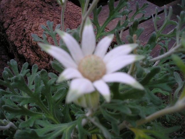 白い花 大