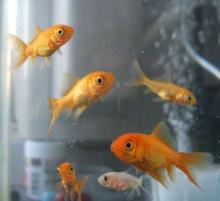 金魚の日。