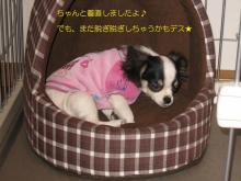 ちわわん日和-mint-kinsan4