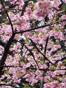 ビンボー暇なし節約したいなー-雨にぬれた桜かな