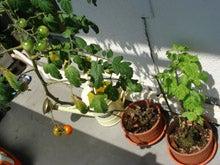 トマトと紫蘇