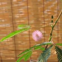 おじぎ草の花