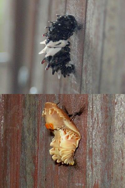 前蛹から蛹へ