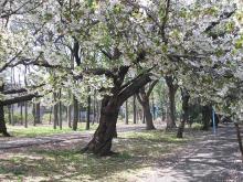 葉桜も乙です