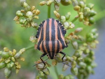 イタリア虫