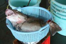 6.4Kgの鱈 でかっ!