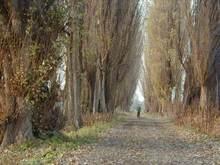 ポプラ並木(北海道)