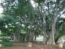 榕樹がいっぱい
