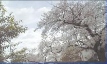 桜風景レベル補正済