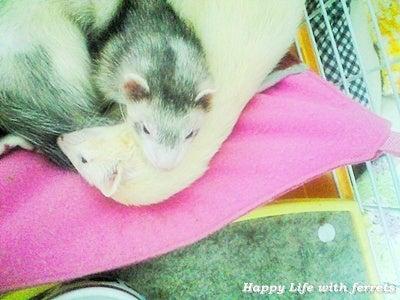 はっぴーらいふ with ferrets-喪中にて⑨