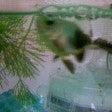 パンダ金魚