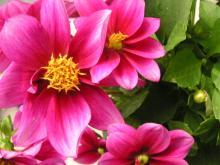 daria pink