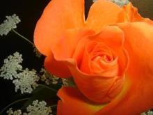 orange_rose1
