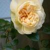 一番花、咲いてくれました♪の画像