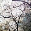 桜満開!の画像