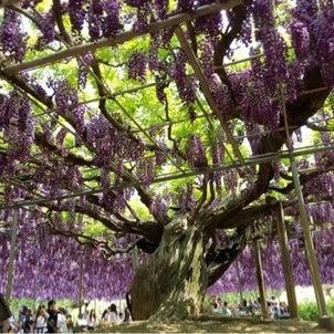 藤の花でパワーチャージ♡の画像