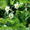 芍薬、沙羅双樹、半夏生 …季節の花を見に行けなくてもの画像