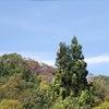 松保の大杉の画像