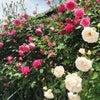 2017年薔薇の画像