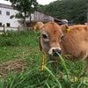牛のいる生活。の画像