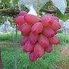 今日のブドウたちの画像