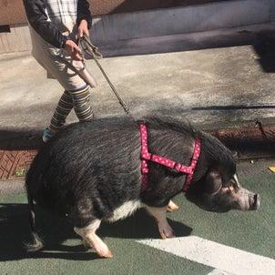 散歩豚^_^の画像