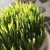 猫草のかわいい水滴でほっこりの画像